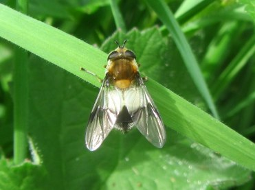 Leucozona lucorum, one of the most attractive spring hoverflies.